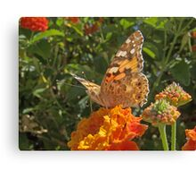 "Vanessa  Cardui (or Cynthia Cardui or ""Belle-Dame"" or ""bella-Dama"" or Painted Lady) Butterfly Canvas Print"