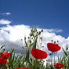 red poppies by Jimmy Joe