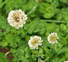 Clover by Nora Caswell