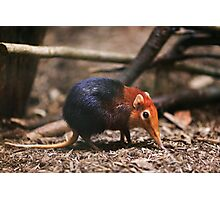 Cute Elephant Shrew