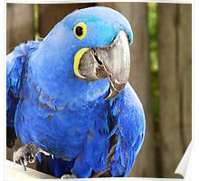 Happy Macaw Poster