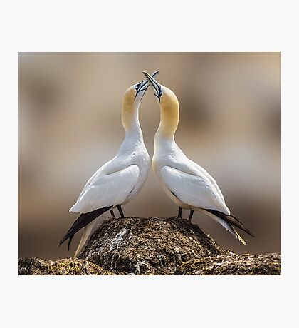 Dance of the Gannets Photographic Print