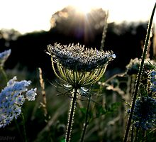 Sun ray flower by AJPPhotography