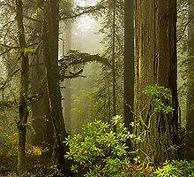 Redwood Trees in California by Intern2