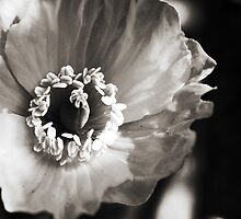 Black and White Poppy by shane22