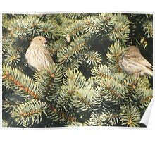Pine House Finches II Poster