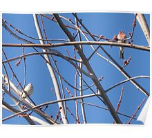 Sky House Finches - Female, Left + Male, Right Poster