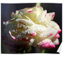 White Ranunculus Poster