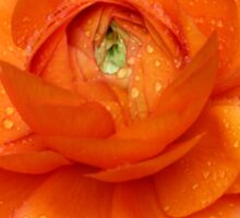Orange Ranunculus Sticker