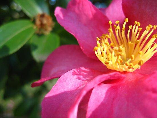 Camellia Sasanqua by Megs D