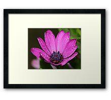 Purple Daisy. Framed Print