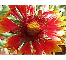 Blanket Flower Photographic Print