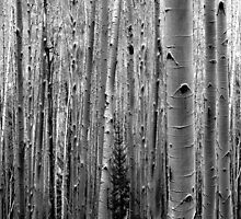 Aspens on the Trail by LaRoach