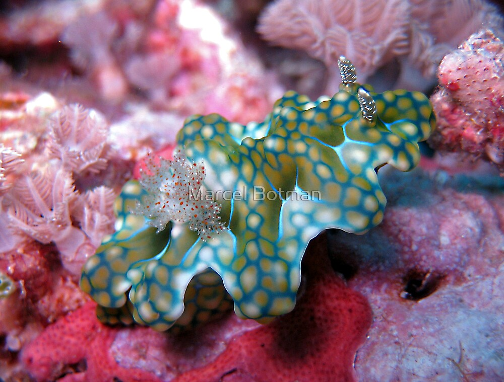 Nudibranch (Ceratosoma Sinuatum) by M.M.S.W. Botman