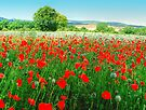 Field Of Poppies HDR by Colin  Williams Photography