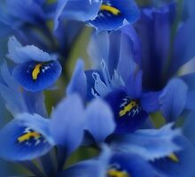 Iris Blue by Sharon House