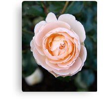 peach face Canvas Print