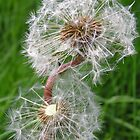 dandelion clock by catherine bracegirdle