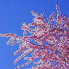 Blue Sky Spring Pink Sunlit Flower Tree Blossoms by BasleeArtPrints