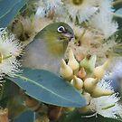 western australian   birds by Rick Playle