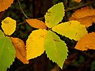 Autumn chestnuts leaves by Patrick Morand