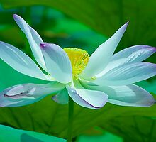 Lotus of Light by Mukesh Srivastava