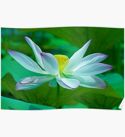 Lotus of Light Poster