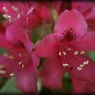 Pink over Sepia 2 by Ghelly