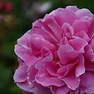 Pretty in Pink 1 by Ghelly