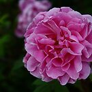 Pretty in pink 2 by Ghelly