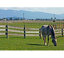 A horse grazing in Skagit Valley Photographic Print