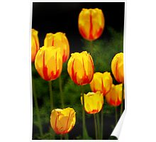 Yellow and Red-Striped Tulips Poster