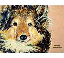 Jammers...Portrait Of A Sheltie Photographic Print
