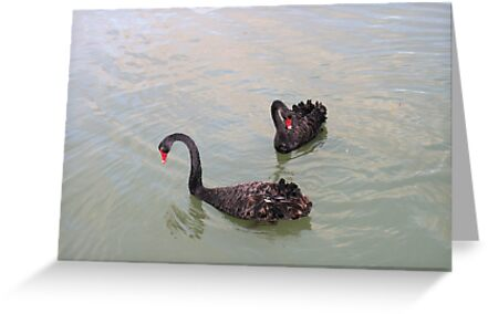 Black Swans at sunrise. by elphonline