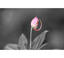 Rose Bud Photographic Print
