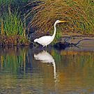 Great Egret by hatterasjack