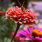 Zinnia Perch 2 by Jay Gross