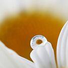 Daisies by Melinda Gaal