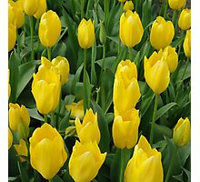 Golden Tulips Photographic Print