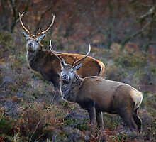 Twa Stags, take 2 by Martina Cross