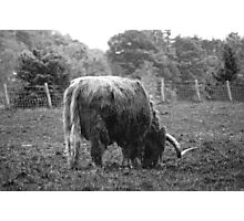 hamish the cow Photographic Print
