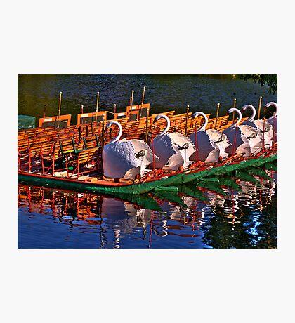 Boston Swans Photographic Print