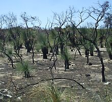 Burnt forest at Yalgorup National Park, Lake Clifton WA by Karyn Lake