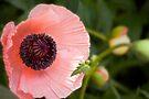 Oriental poppy by LudaNayvelt