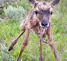 Teetering Antelope Fawn by A.M. Ruttle