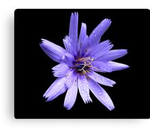 Chicory flower?  Canvas Print