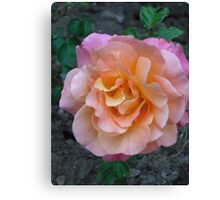 Peach Pink rose Canvas Print