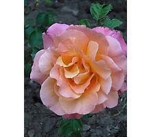 Peach Pink rose Photographic Print