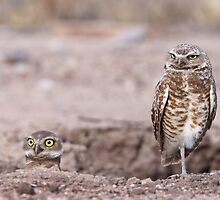 Burrowing Owls by tomryan