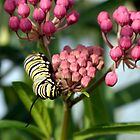 Swamp Milkweed & Monarch Butterfly Caterpiller  by Gene Walls